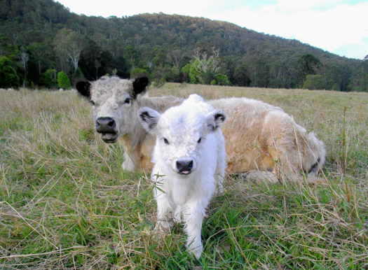 miniature_cow_and_calf_ll